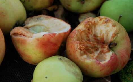 Först samlade vi in fåglarnas och de allmänt mosade äpplena.