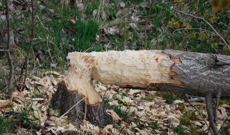 Bävern, han gnager på träd när vi smofsar i oss ostar.