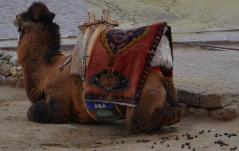 Jag visste inte att kameler 1) bajsade så fjuttigt 2) sponsrades av AGA.